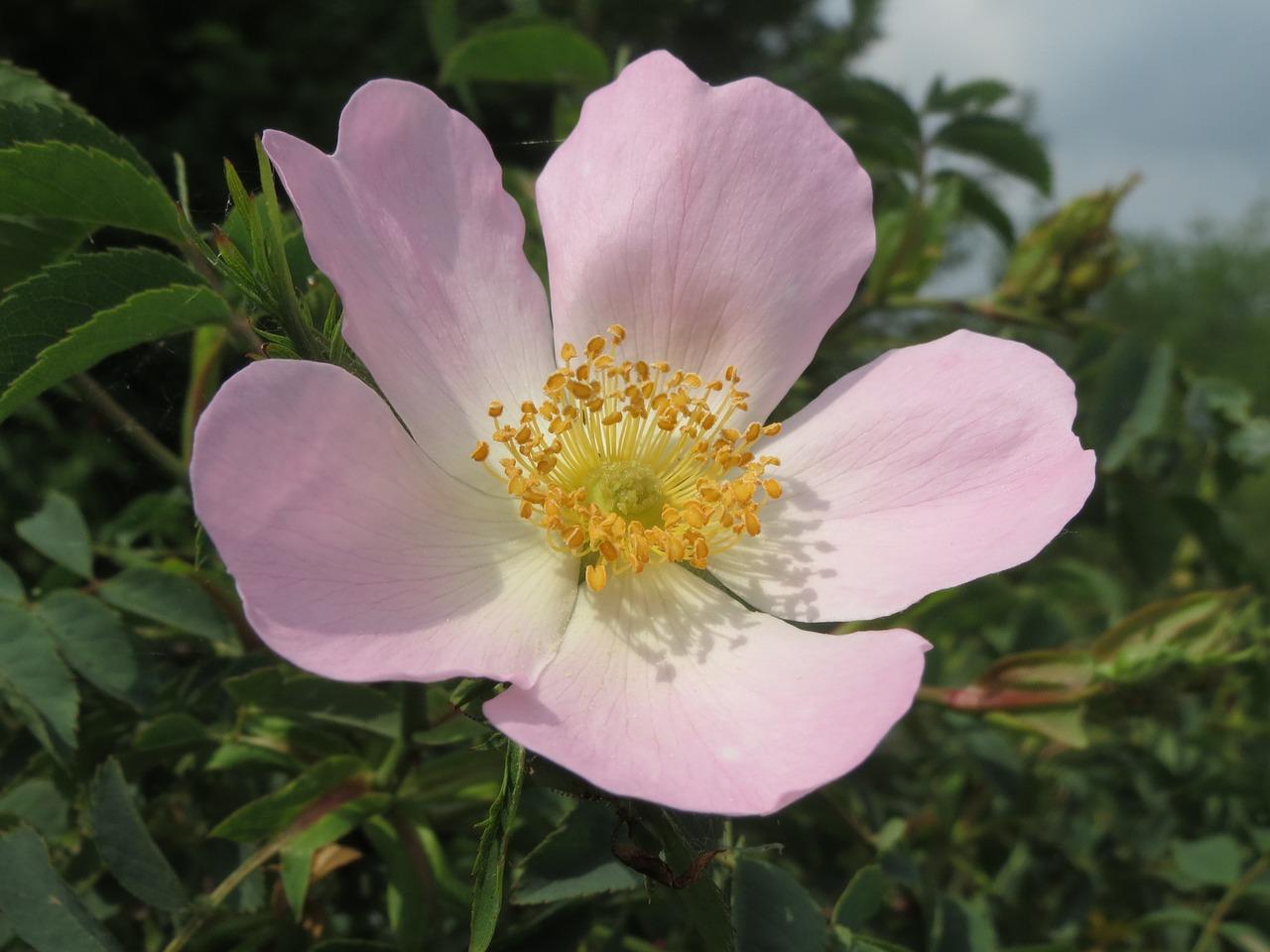 šípek květ